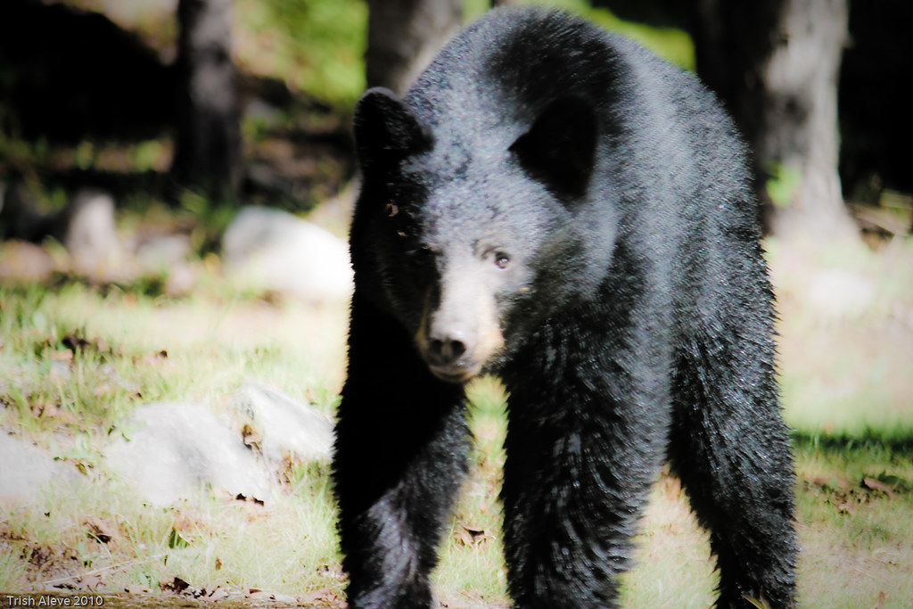 Black Bear thinks he was invited for breakfast