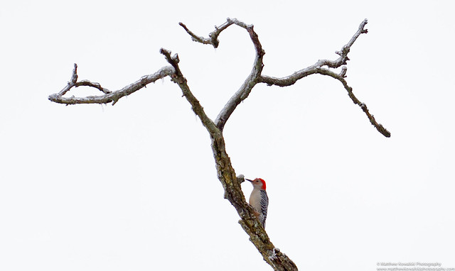 ♥ Red-Bellied Woodpecker V2