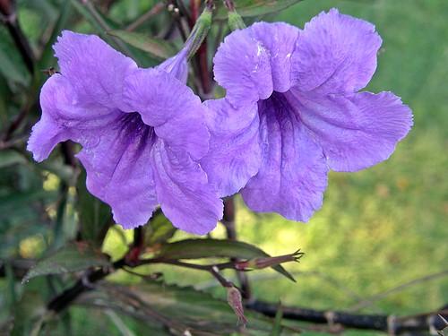 flores  lilas de ruellia