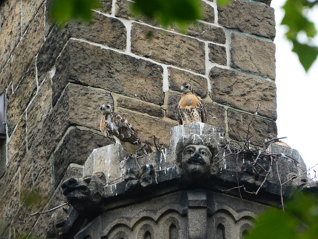Cathedral Hawk Nestlings - 6062
