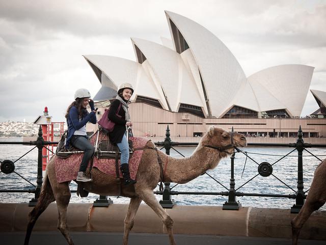 Wielbłąd z Australii