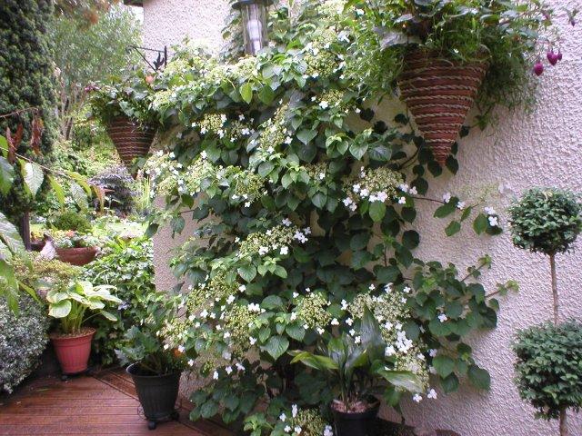 Hydrangea petiolaris ovvero l 39 ortensia rampicante - Ortensia rampicante petiolaris ...