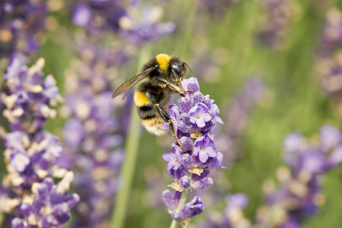 Fragrant bee