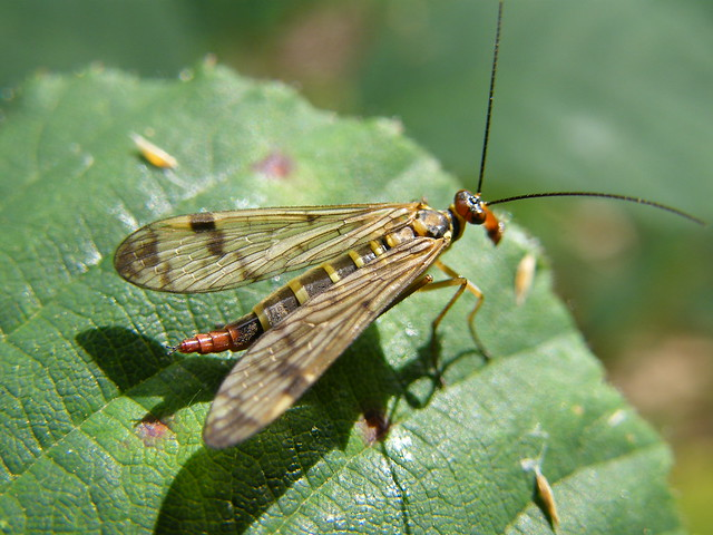 Female Scorpion Fly (Panorpa nuptialis)   Flickr - Photo Sharing!