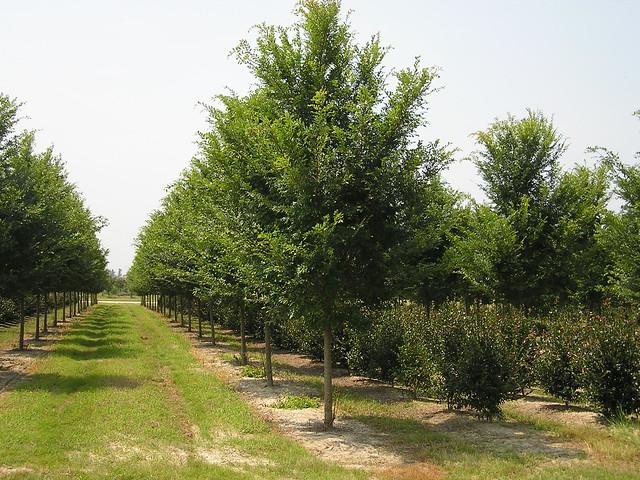 Ulmus parvifolia ´Bosque´ 4.5´´