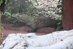 lacertidae(0.0), iguana(0.0), animal(1.0), reptile(1.0), lizard(1.0), komodo dragon(1.0), fauna(1.0), scaled reptile(1.0), wildlife(1.0),