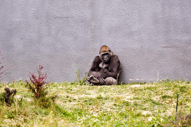 Le gorille le moins dépressif de la bande