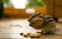 rabbit(0.0), rodent(0.0), mouse(0.0), hamster(0.0), degu(0.0), gerbil(0.0), animal(1.0), squirrel(1.0), pet(1.0), mammal(1.0), fauna(1.0), close-up(1.0), chipmunk(1.0), whiskers(1.0),
