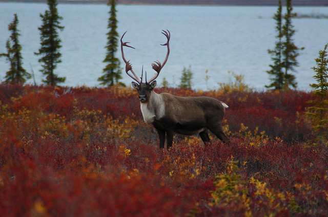 caribou colors flickr photo