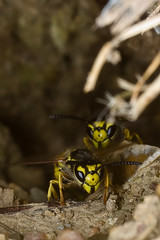 Wasps ventilating the nest