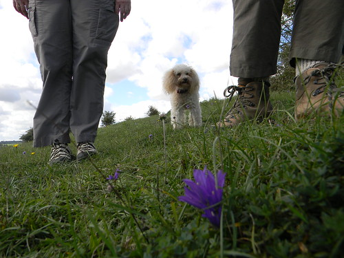 Clustered Bellflower with dog and feet