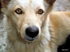 dog breed, animal, dog, czechoslovakian wolfdog, canaan dog, pet, street dog, close-up, saarloos wolfdog, native american indian dog, carnivoran,