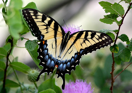 texas butterflies grapevine easterntigerswallowtail papilioglaucus beautifulworldchallenges horseshoetrailspark