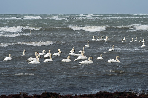 Not the Swanlake but - Swans at sea