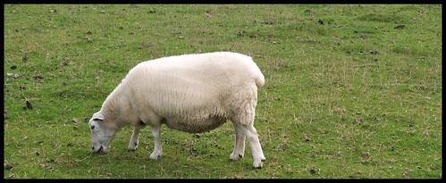 Sheepie