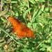 Small photo of Blazin Butterfly