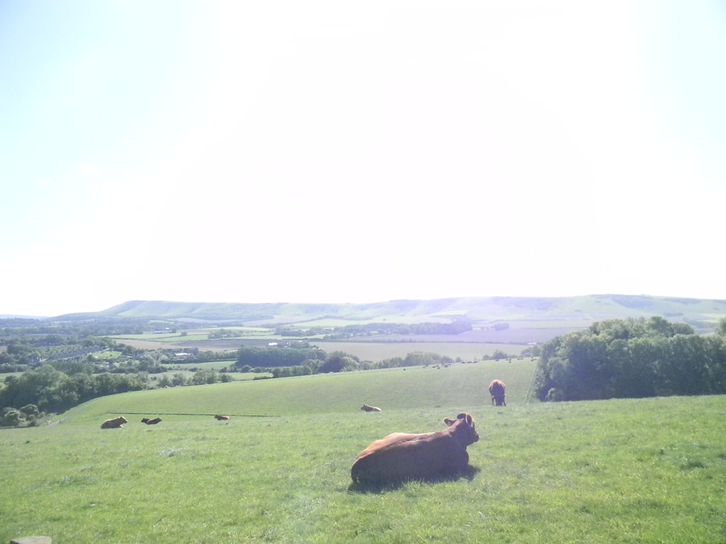 Cows near Caburn Hill Lewes to Berwick