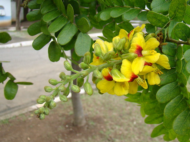 application of the dye from caesalpinia
