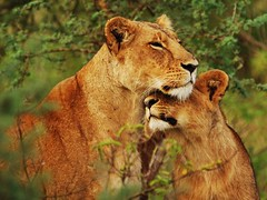 lioness and cub small