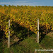 Autumn Vineyards - Frickenhausen, Germany