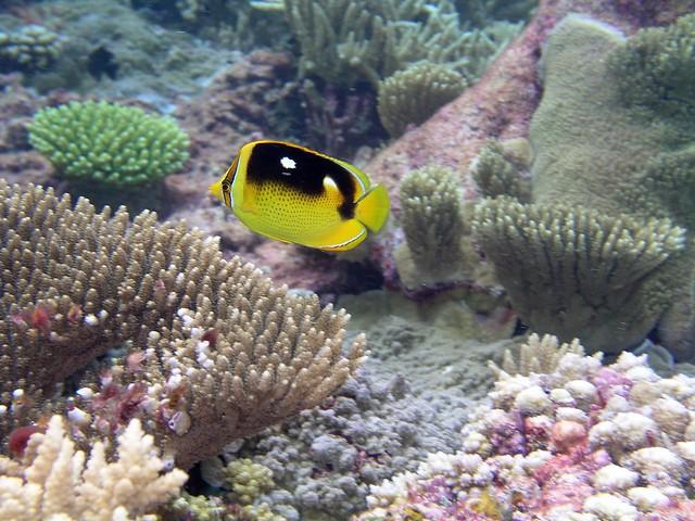 Pez mariposa en el atolón de Palmyra, Islas de la Línea