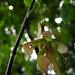 Small photo of Acer negundo