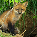 Red Fox by Steve Gifford by Steve Gifford - IN