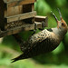 Northern Flicker Woodpecker-2