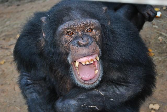 Chimp Eden Sanctuary - Nikki