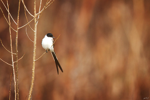 nature birds canon 7d vagrant widlife flycatcher wildbirds savana tyrannus 600mm tyrannussavana forktailedflycatcher