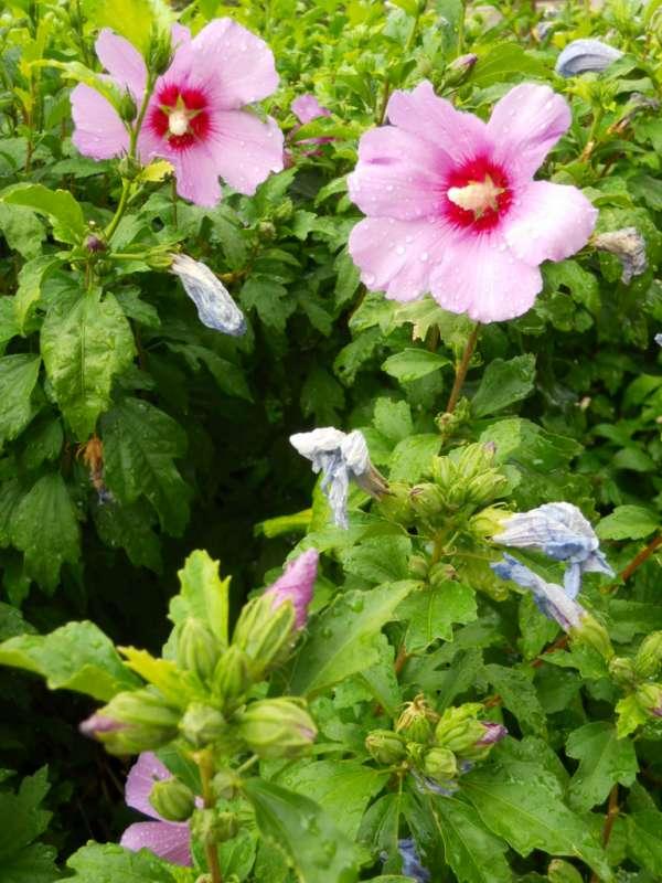 Hibiscus syriacus v 1