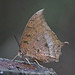 Tropical Leafwing Butterfly - Photo (c) Jerry Oldenettel, some rights reserved (CC BY-NC-SA)