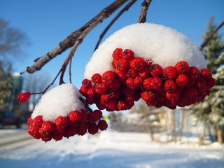 Red mountain ash berries: The bright side of winter