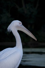 great egret(0.0), egret(0.0), animal(1.0), pelican(1.0), wing(1.0), fauna(1.0), heron(1.0), beak(1.0), bird(1.0), seabird(1.0), wildlife(1.0),