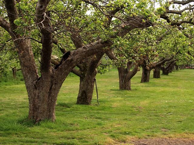 Ancient Apple Trees