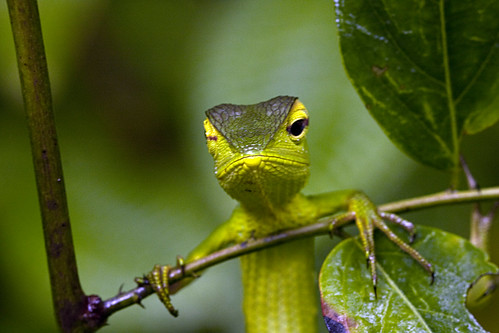 Green Garden Lizard Winking by susan yeomans