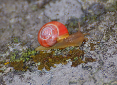 macro photography(0.0), animal(1.0), sea snail(1.0), molluscs(1.0), snail(1.0), marine biology(1.0), fauna(1.0), close-up(1.0), slug(1.0), wildlife(1.0),