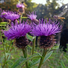 jasione montana(0.0), bee balm(0.0), produce(0.0), annual plant(1.0), flower(1.0), thistle(1.0), herb(1.0), wildflower(1.0), flora(1.0), silybum(1.0), artichoke thistle(1.0),