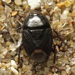Geotomus punctulatus