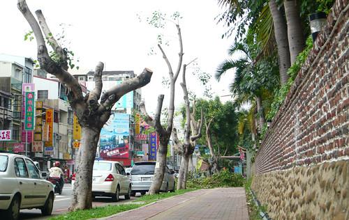 太粗暴了吧!樹修成這樣!在炎熱的夏天!這還叫做樹嗎?圖片提供:晁瑞光