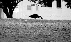 goose-waterfront park