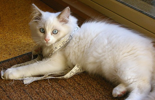 Scamp the Ragdoll - Aged 3 Months