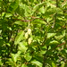 Small photo of Alnus viridis