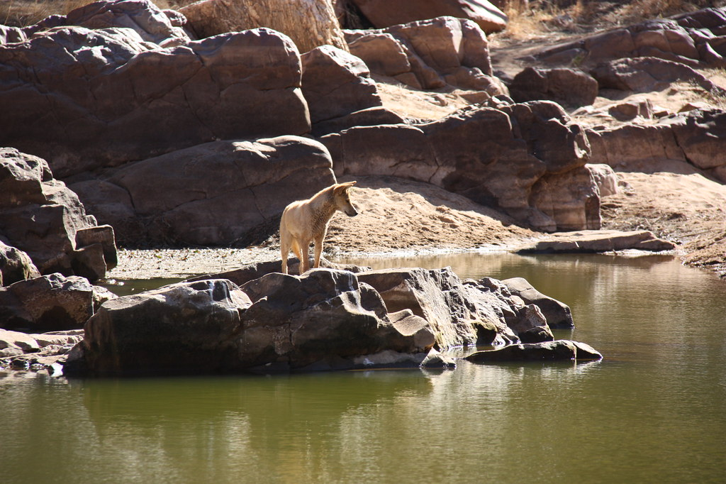 Dingoes in the West MacDonnell range of Northern Territory Australia