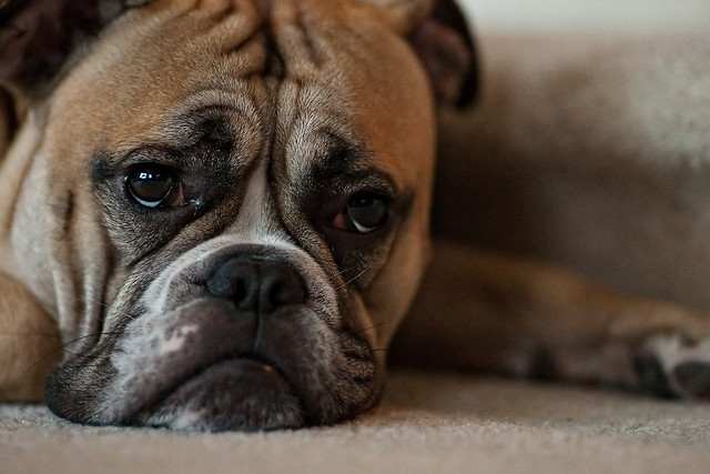 Murray's sad face... | Explore edwin.bautista's photos on ... Sad Bulldog Face