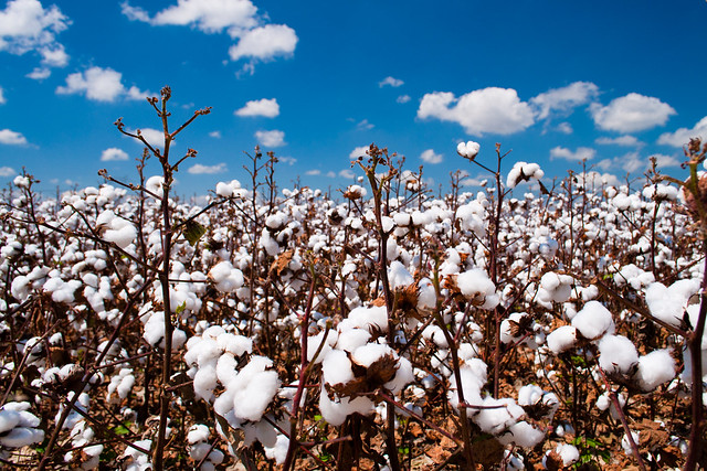Louisiana cotton