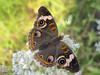 Buckeye, Junonia coenia