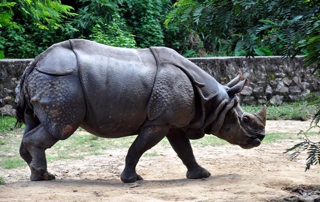 Greater One-Horned Rhino | Lone Rhino