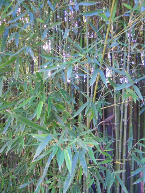 Bambu en maceta exterior cool planta artificial en maceta - Bambu planta exterior ...