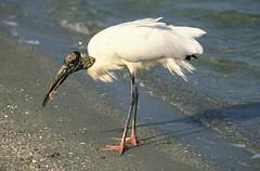 stork(0.0), great egret(0.0), spoonbill(0.0), animal(1.0), wing(1.0), fauna(1.0), ciconiiformes(1.0), beak(1.0), ibis(1.0), bird(1.0), wildlife(1.0), egret(1.0),
